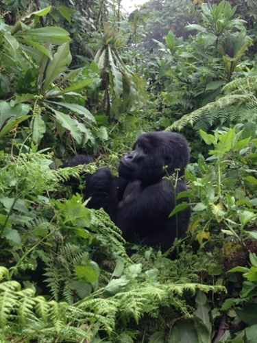 Photo of a silver back male gorilla sitting in a Rwanda forest eating leaves